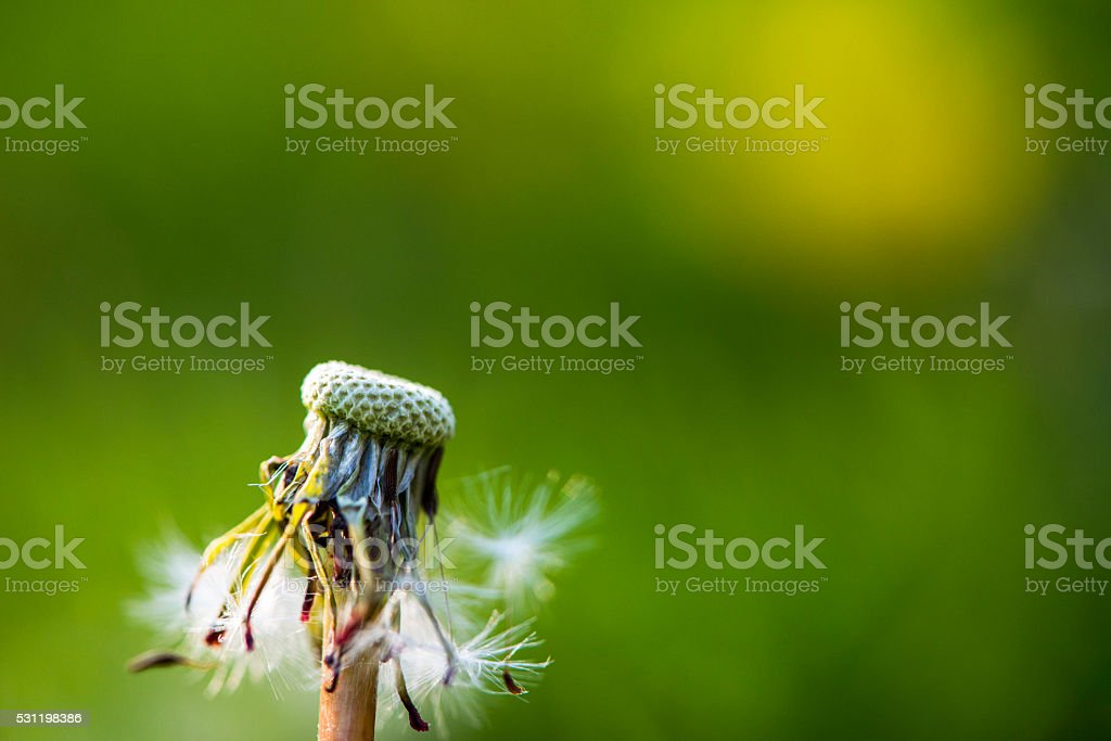 Dandelion seed stock photo