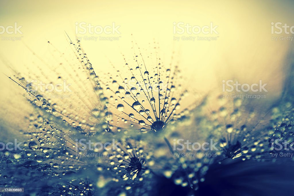 Dandelion seed with water drops stock photo