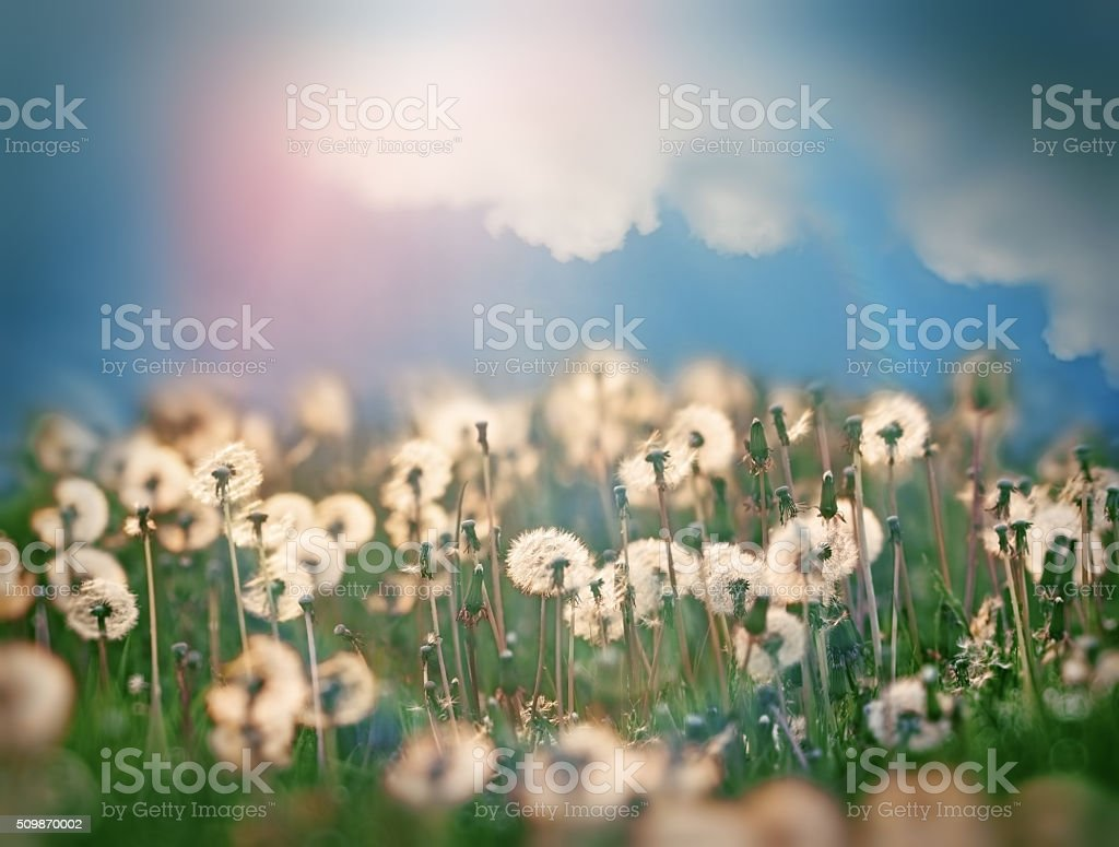 Dandelion seeds and beautiful sky stock photo