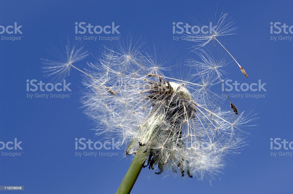 Dandelion seeds blowing away aginst a blue sky royalty-free stock photo