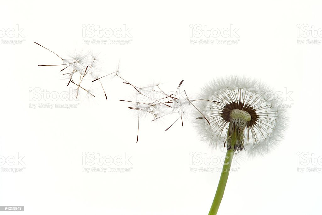 Dandelion seeds blowing in the wind against white background stock photo