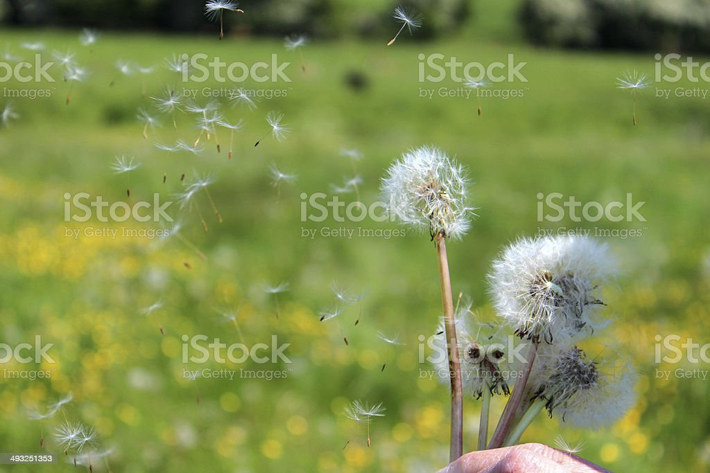 Dandelion seeds blowing in the wind, in countryside buttercup field stock photo