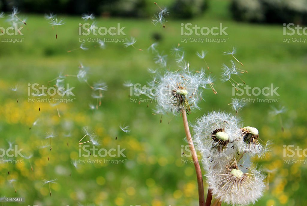 Dandelion seeds blowing in the wind, in countryside buttercup field royalty-free stock photo