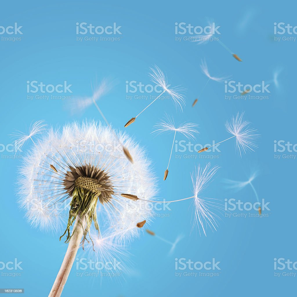 Dandelion seeds blown away in the blue clear sky stock photo