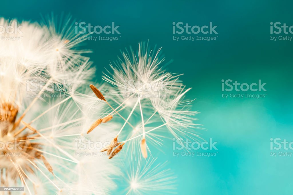 dandelion seeds close up blowing in blue turquoise background stock photo