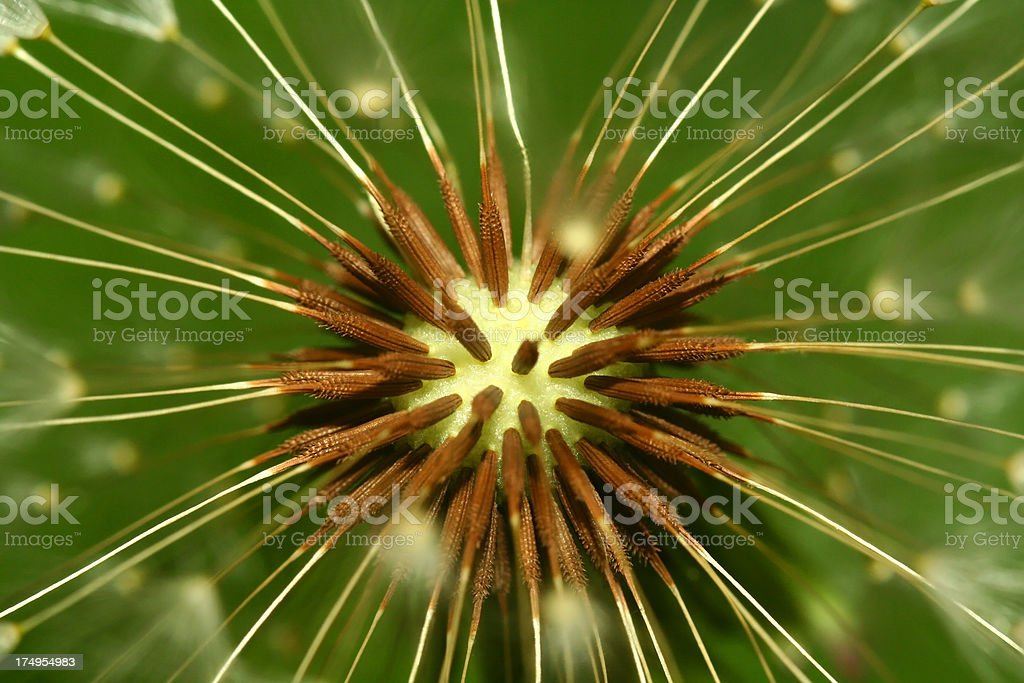 Dandelion Seeds - Close up royalty-free stock photo