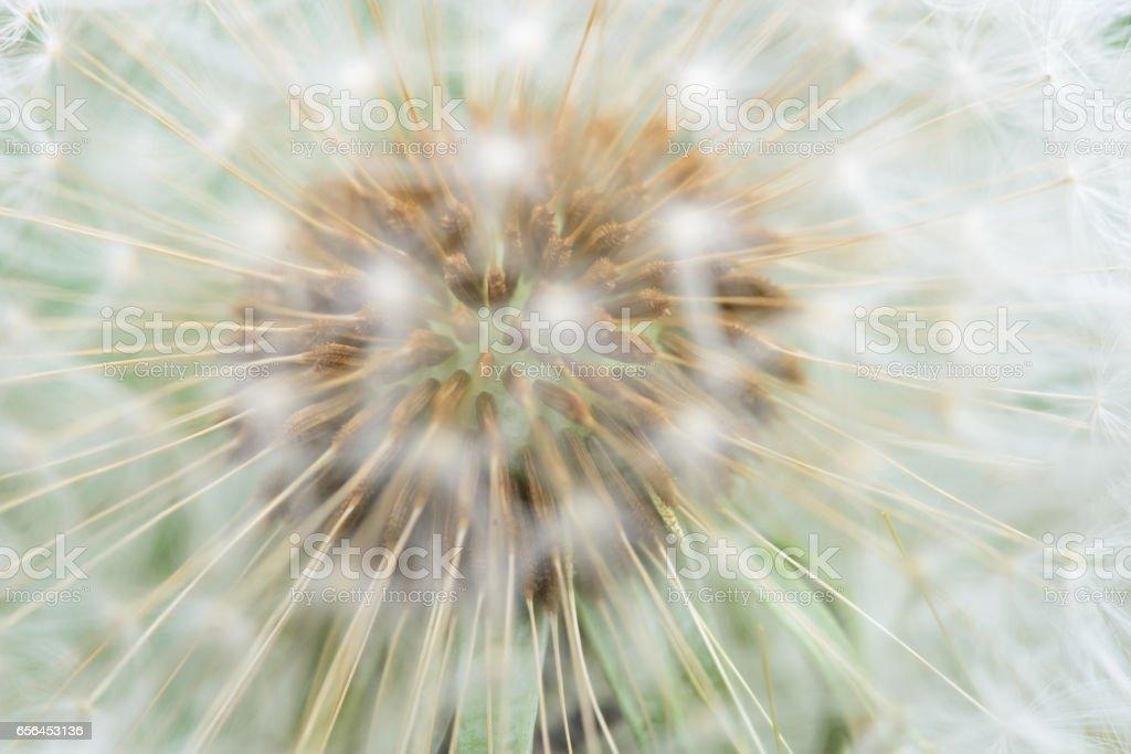Dandelion seeds close up stock photo
