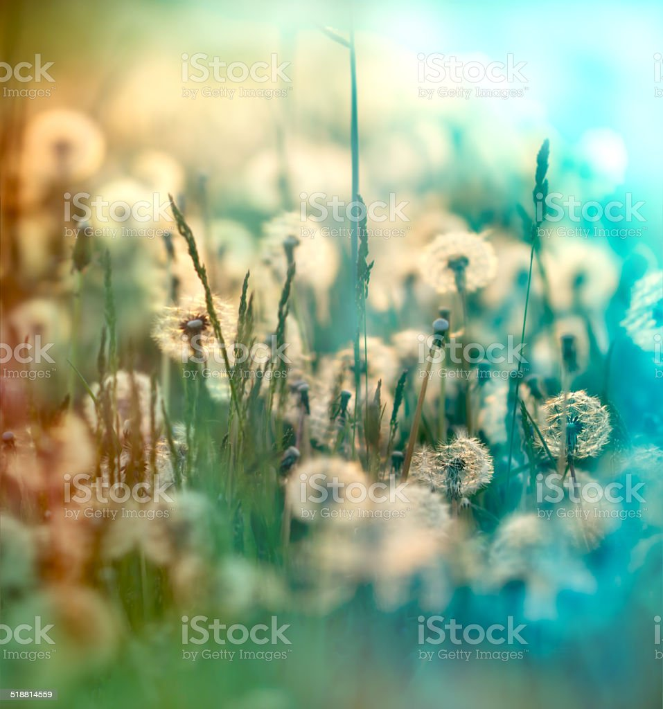 Dandelion seeds - fluffy blow ball (dandelion) stock photo