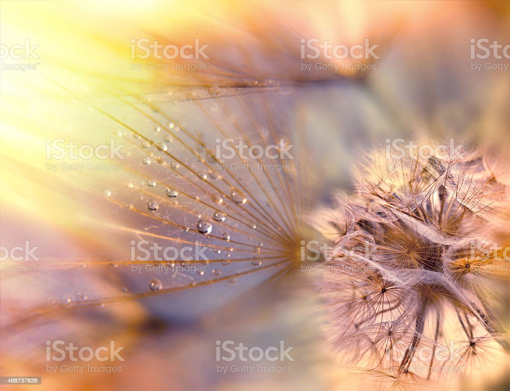 Dandelion seeds - fluffy blowball (dandelion) stock photo