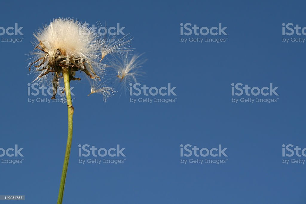 Dandelion seeds fly royalty-free stock photo