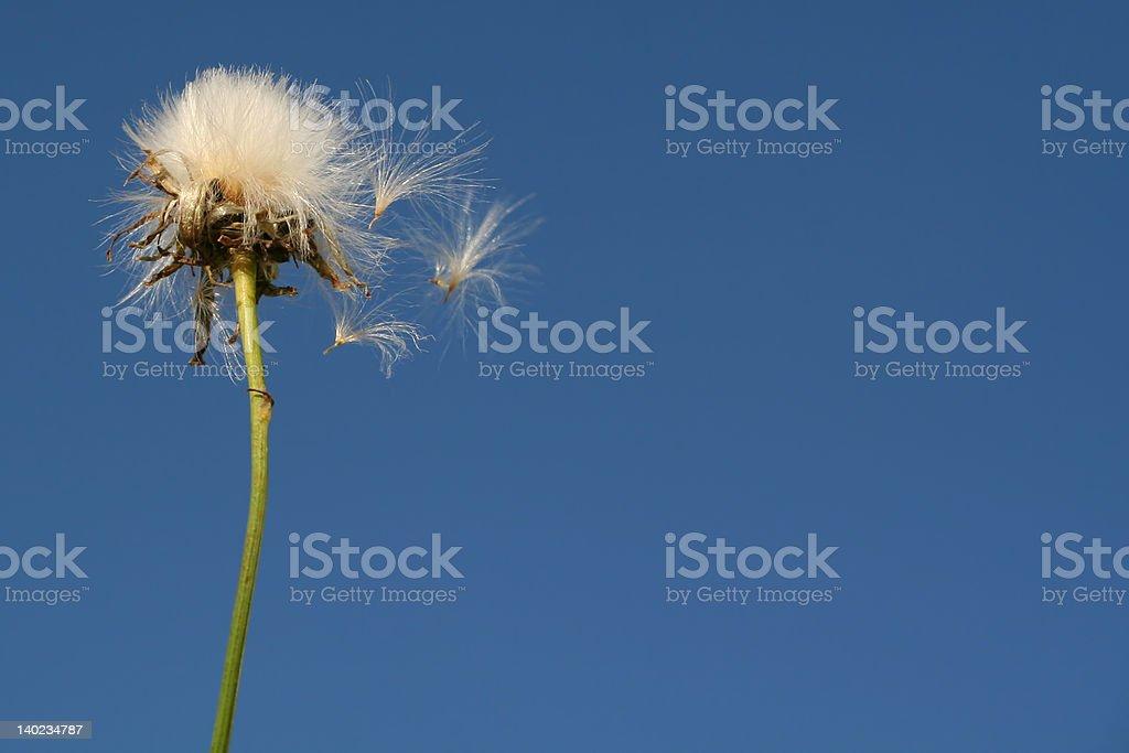 Dandelion seeds fly stock photo
