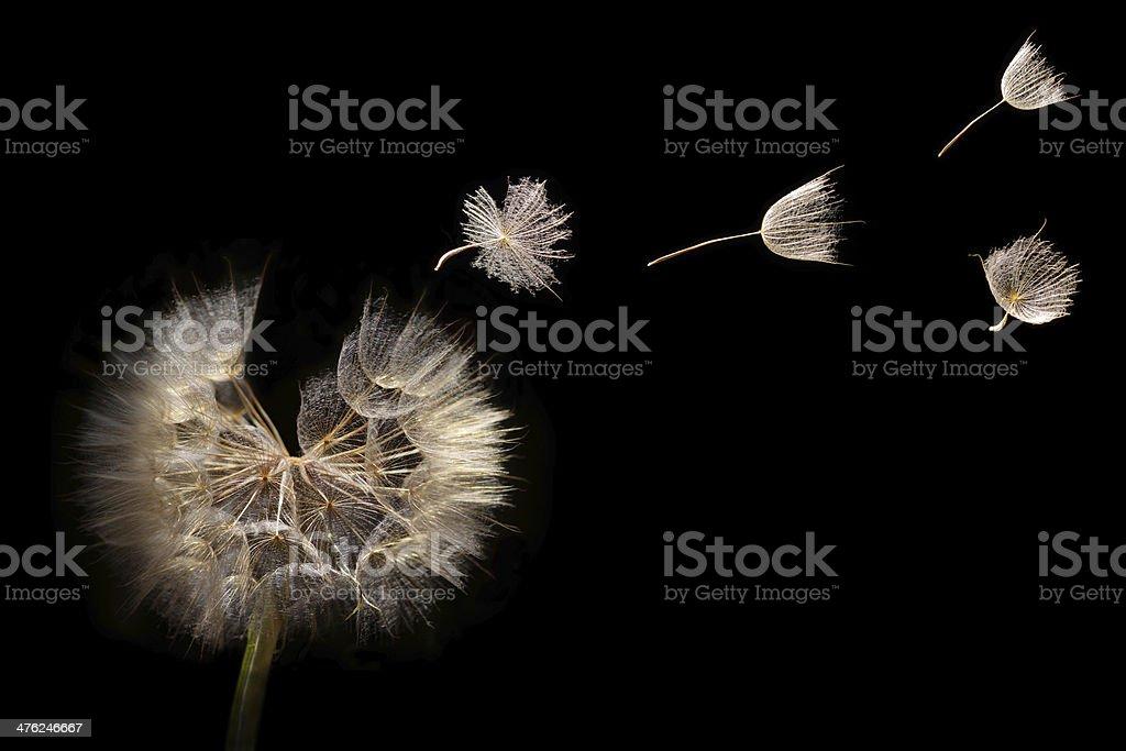 Dandelion seeds flying in a breeze stock photo