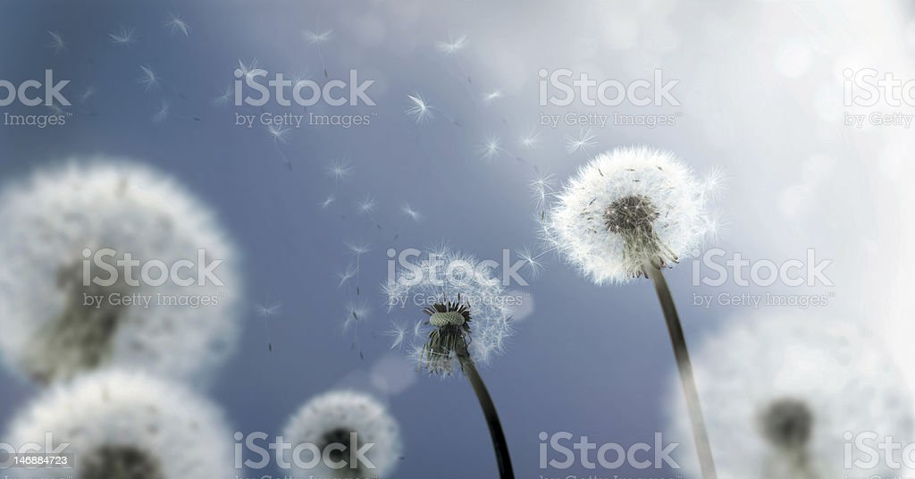 Dandelion Seeds flying in the Wind stock photo