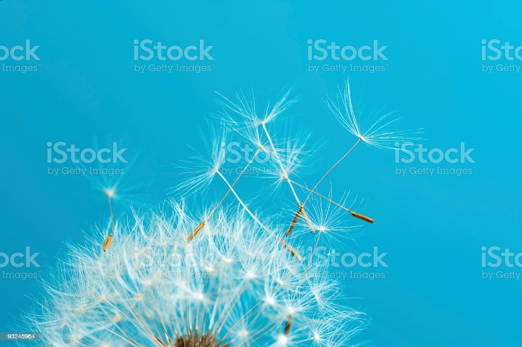 Dandelion seeds flying in the wind royalty-free stock photo
