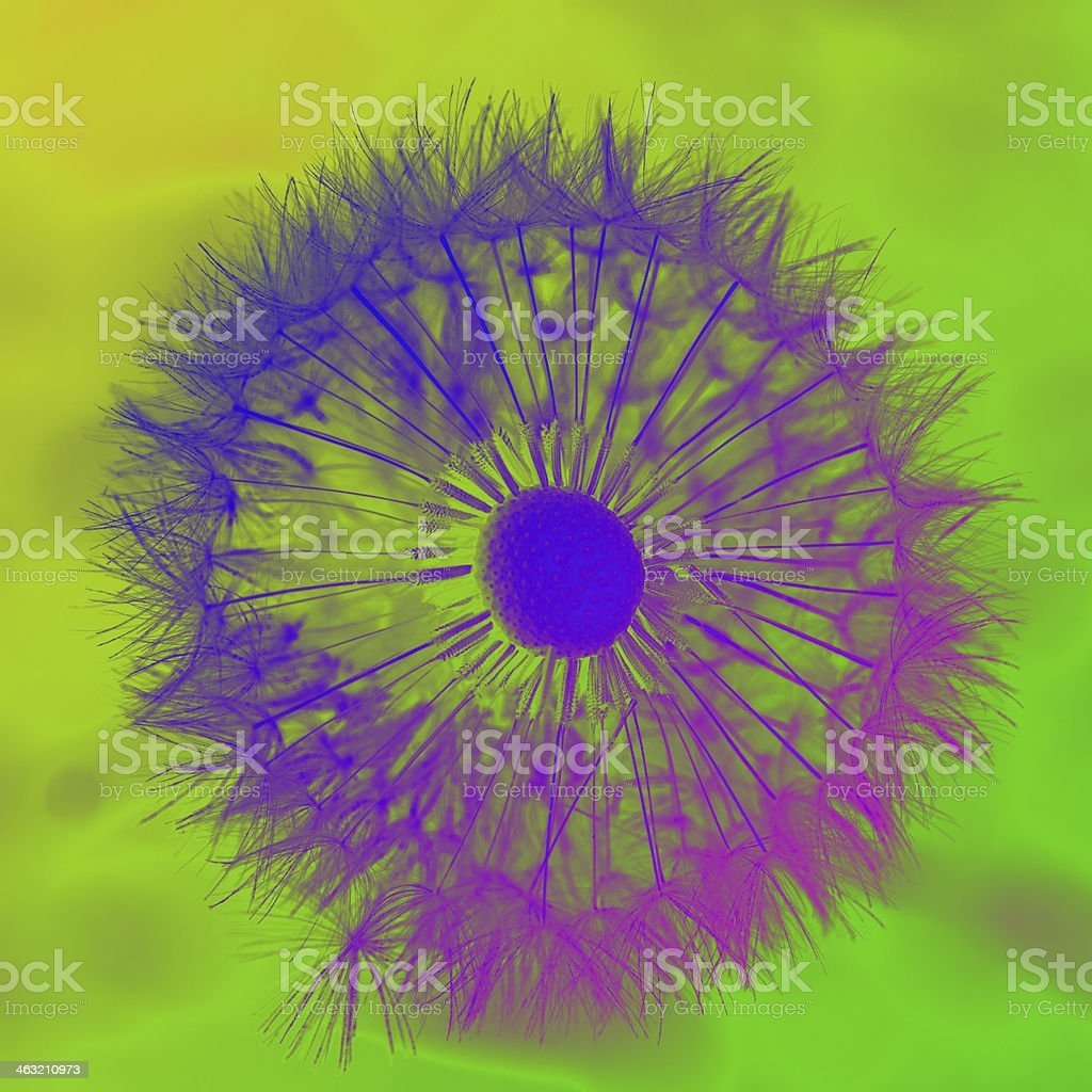 dandelion seeds head crossprocessed stock photo