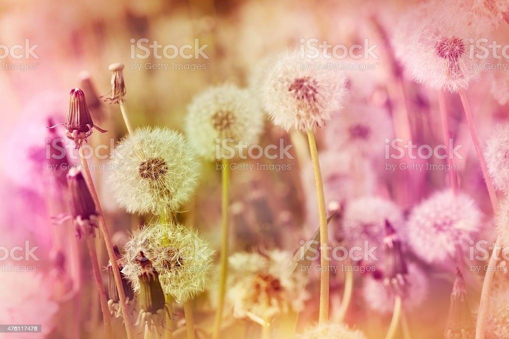 Dandelion seeds in meadow stock photo
