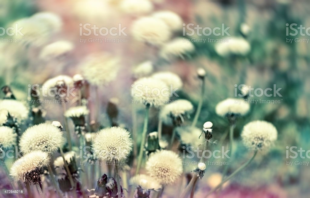 Dandelion seeds (fluffy blowball) in spring stock photo