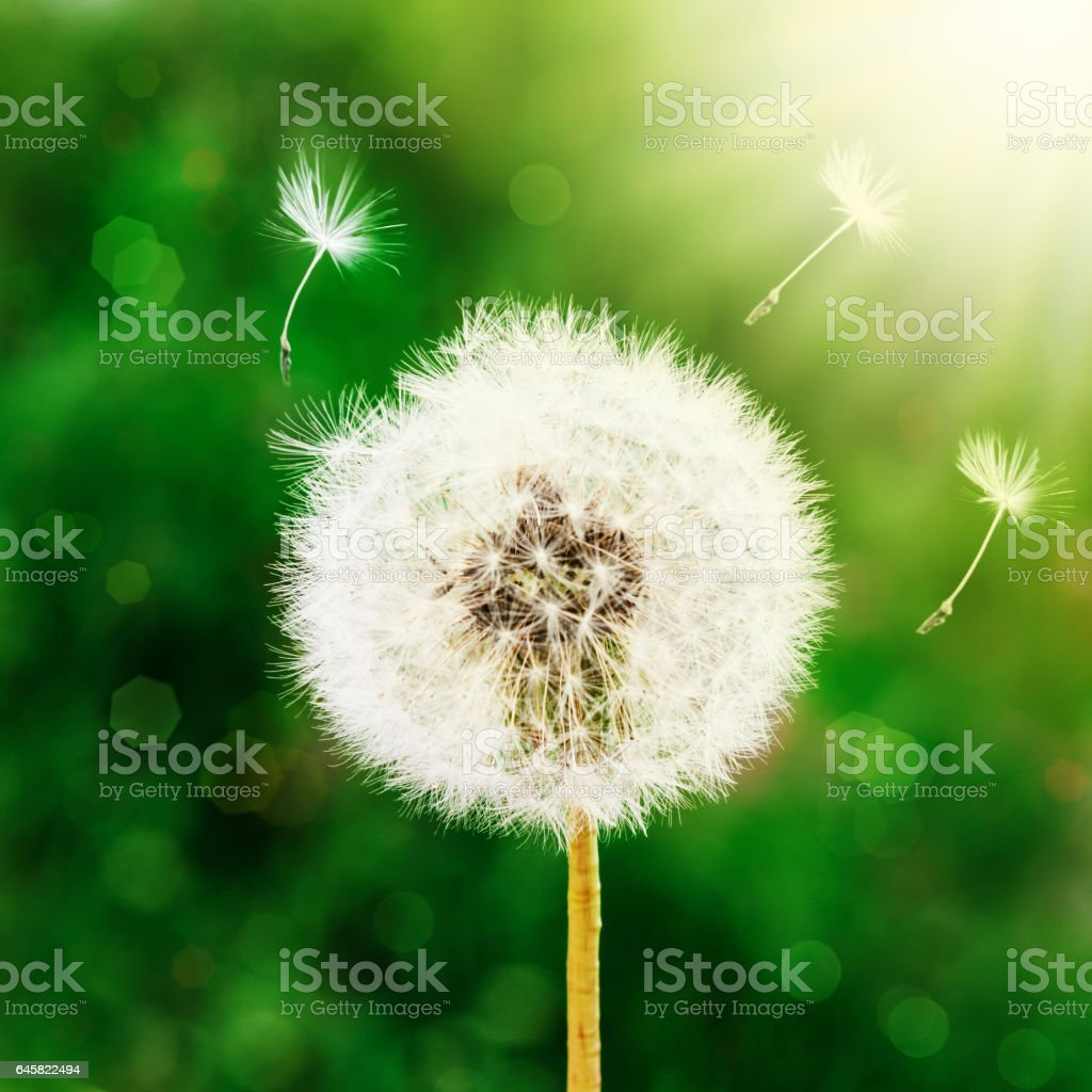 Dandelion seeds in the morning sunlight blowing away across stock photo