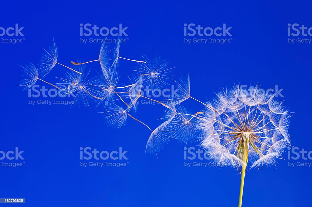 Dandelion seeds in the wind against a blue background royalty-free stock photo