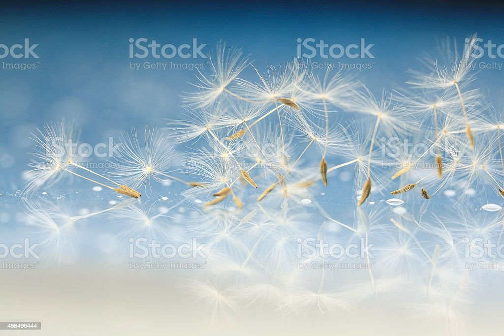 dandelion seeds macro stock photo