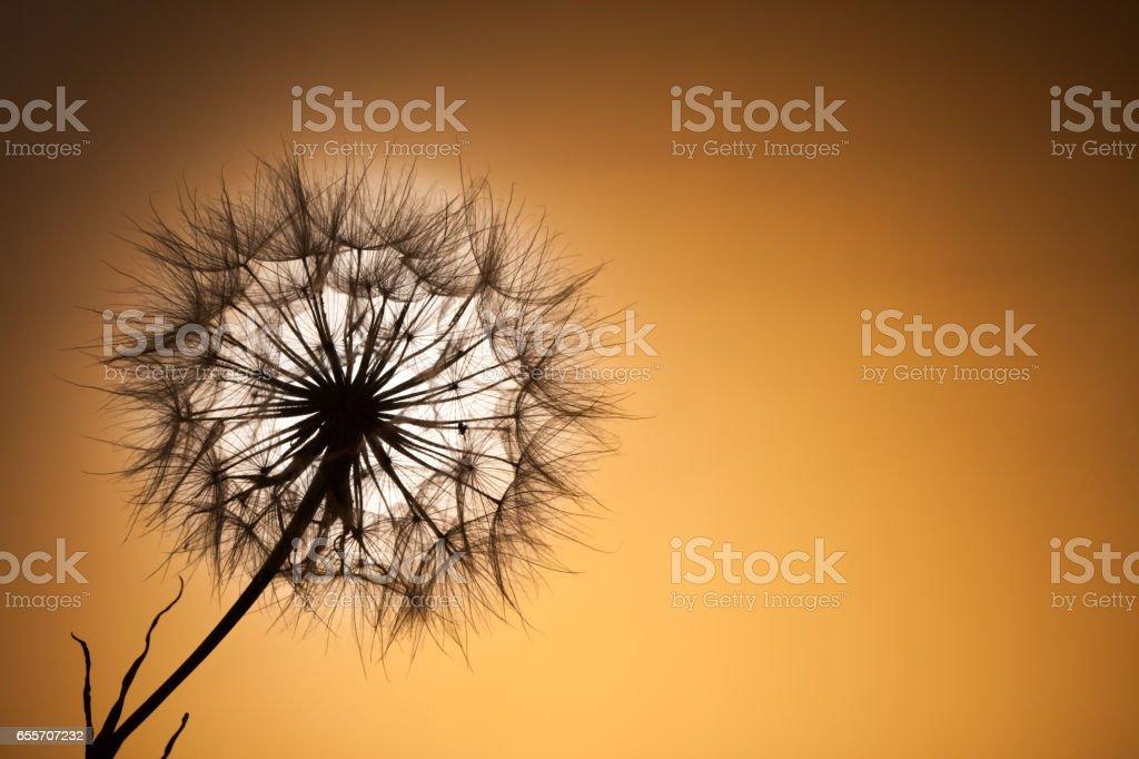 dandelion seeds on a sunset background stock photo