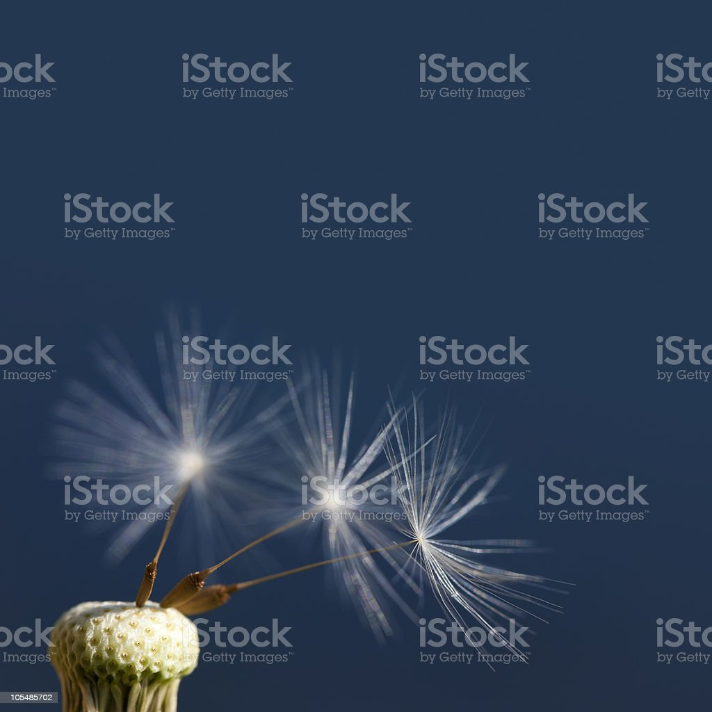 Dandelion seeds stock photo