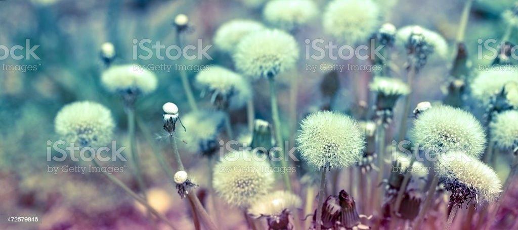 Dandelion seeds (fluffy blowball) stock photo
