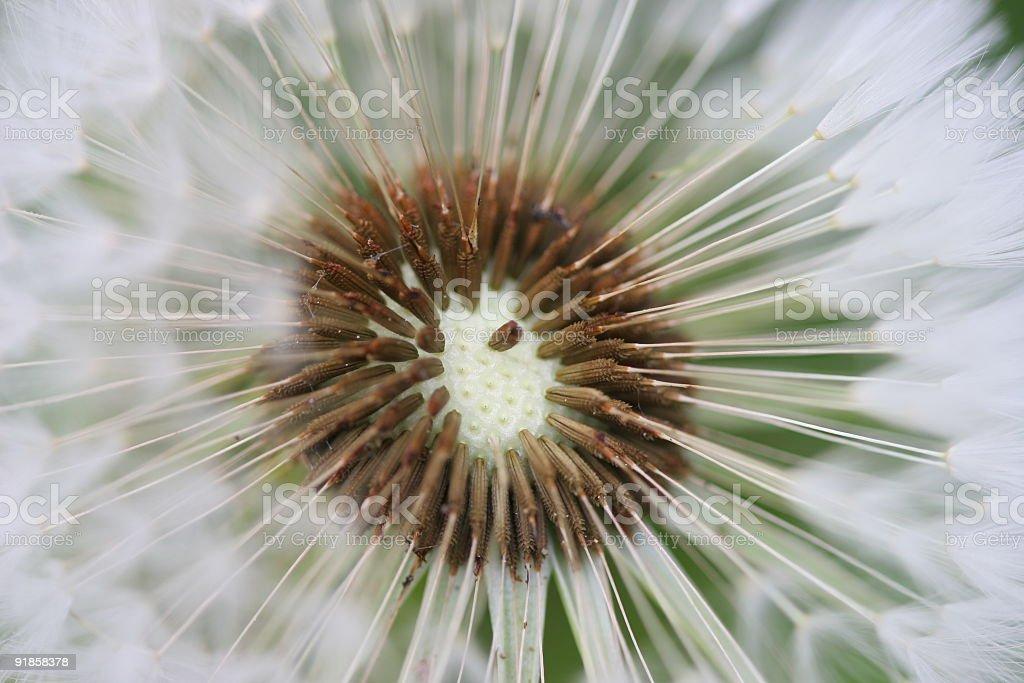 Dandelion Seeds royalty-free stock photo