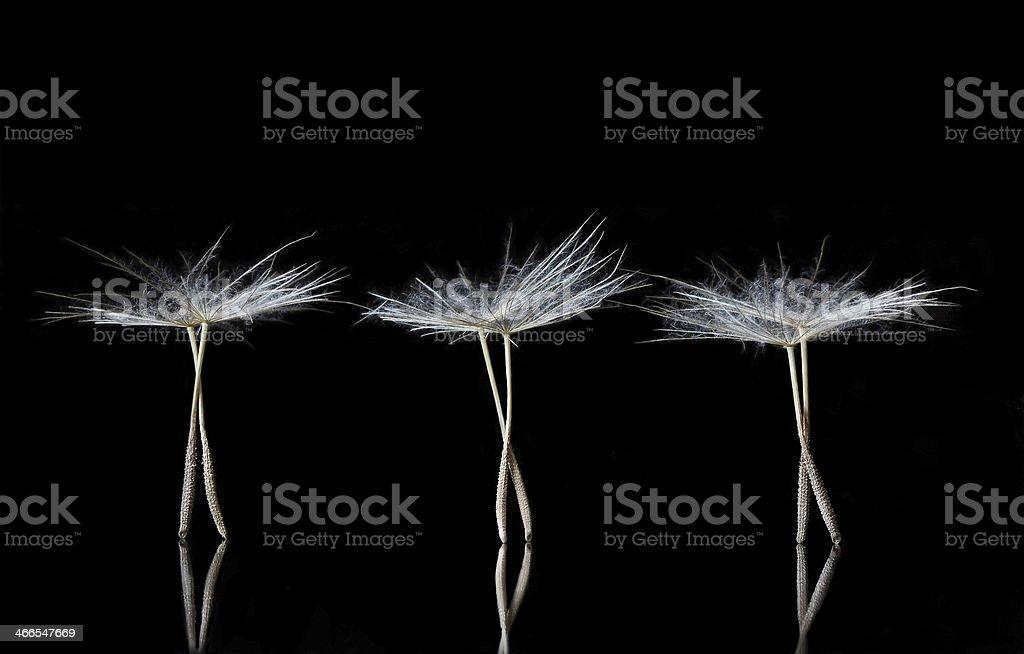 Dandelion Seeds resembling ballet dancers stock photo