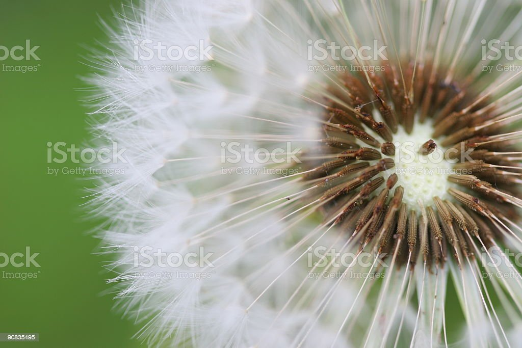 Dandelion Seeds with green background royalty-free stock photo