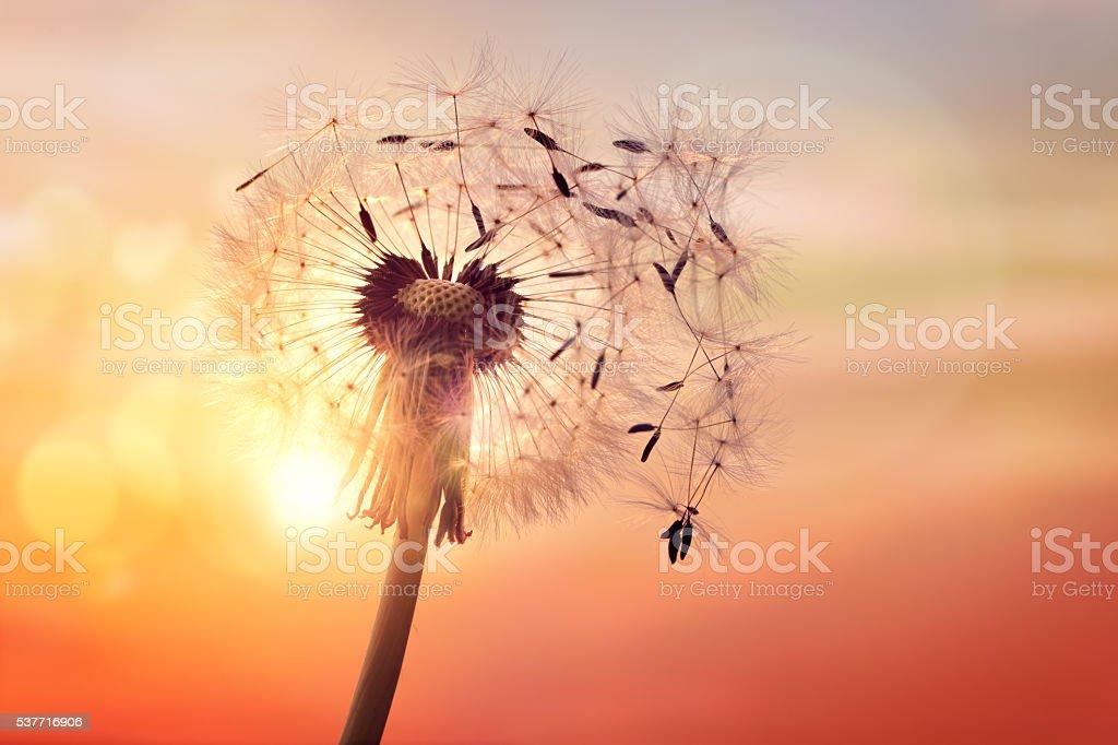 Dandelion silhouette against sunset stock photo