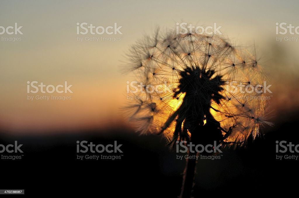 Dandelion silhouette at sunset royalty-free stock photo
