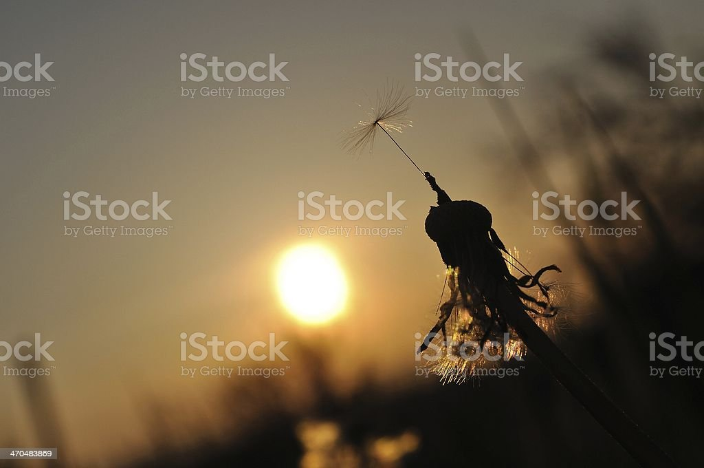 Dandelion silhouette at sunset with last seed royalty-free stock photo