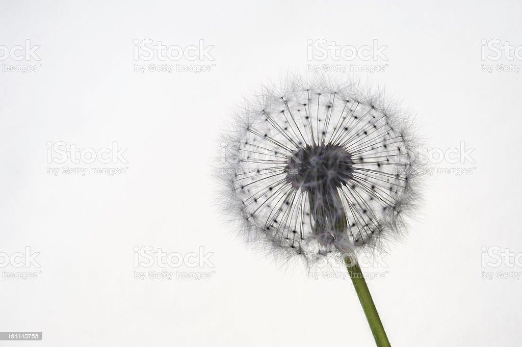 Dandelion silhouette royalty-free stock photo