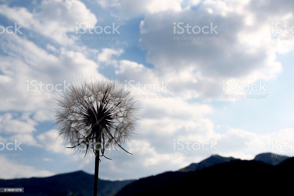 Dandelion siluete stock photo