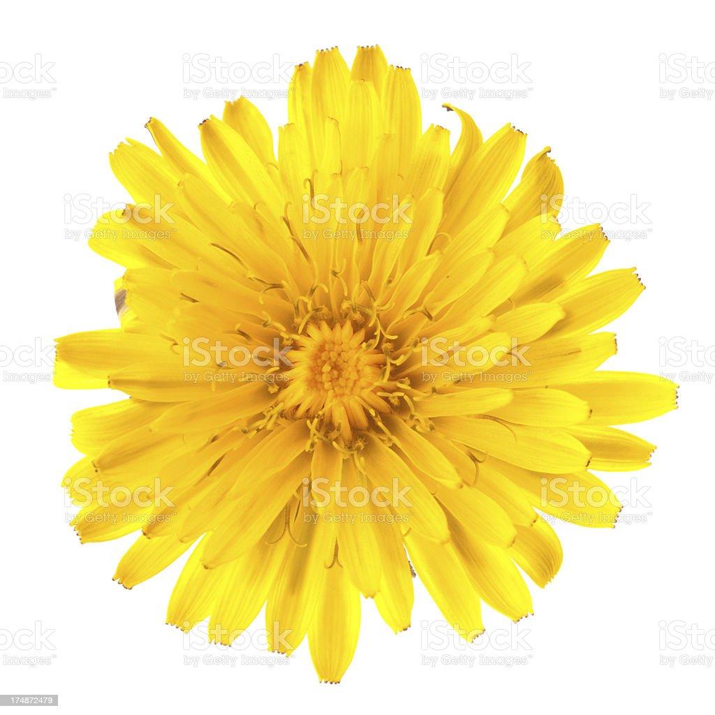 Dandelion single flower isolated on white royalty-free stock photo