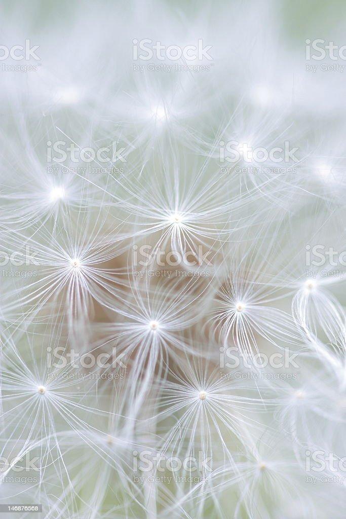 dandelion spores royalty-free stock photo