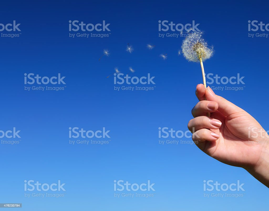 Dandelion spreading seeds in female hand stock photo