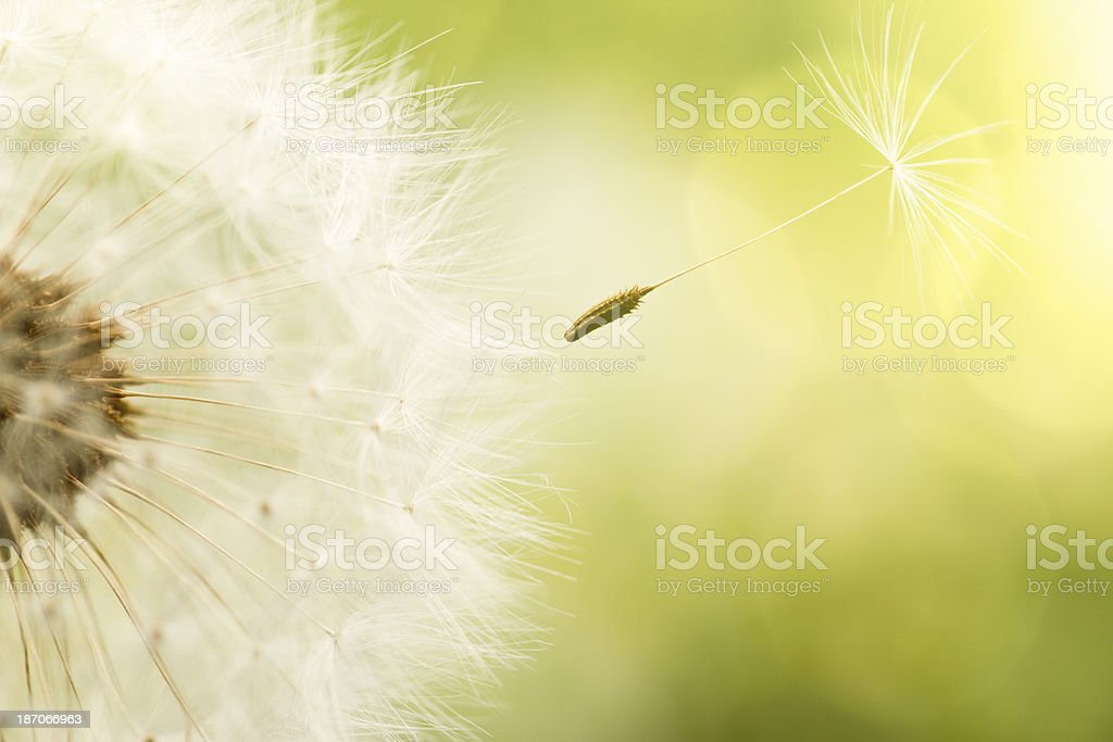 Dandelion - Summer Green Nature Macro royalty-free stock photo