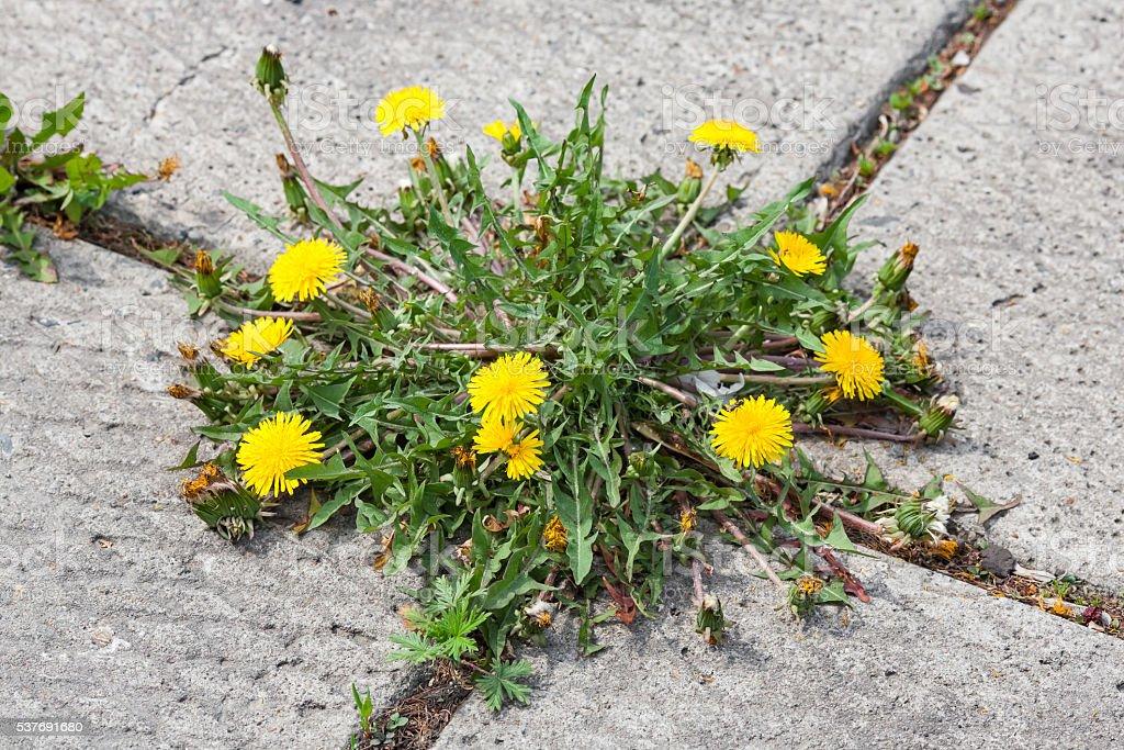 Dandelion, taraxacum officinale, growing on pavement stock photo