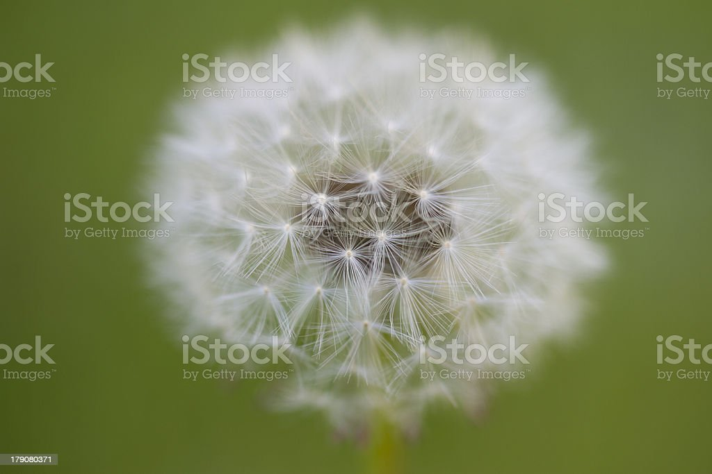 Dandelion - Taraxacum royalty-free stock photo