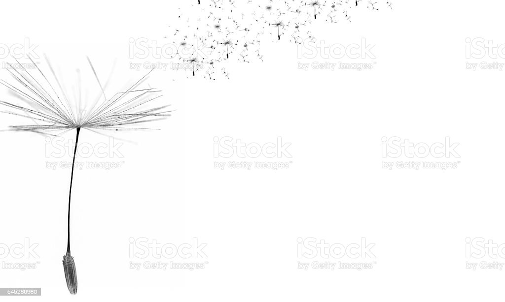 Dandelion time. Dandelion seeds blowing in the wind. stock photo