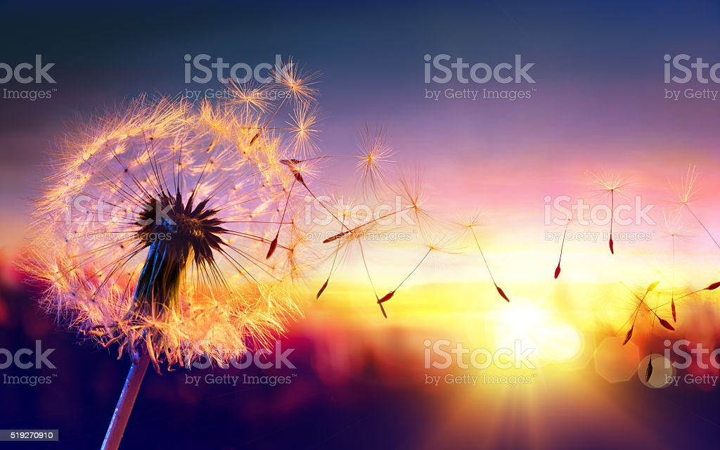 Dandelion To Sunset - Freedom to Wish stock photo