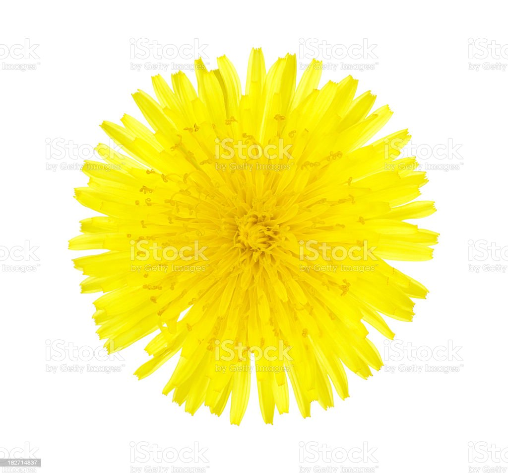 Dandelion Top Close-up royalty-free stock photo