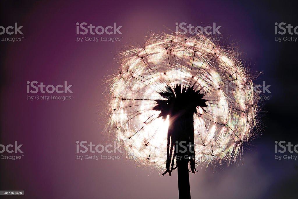 Dandelion - vanilla sky stock photo