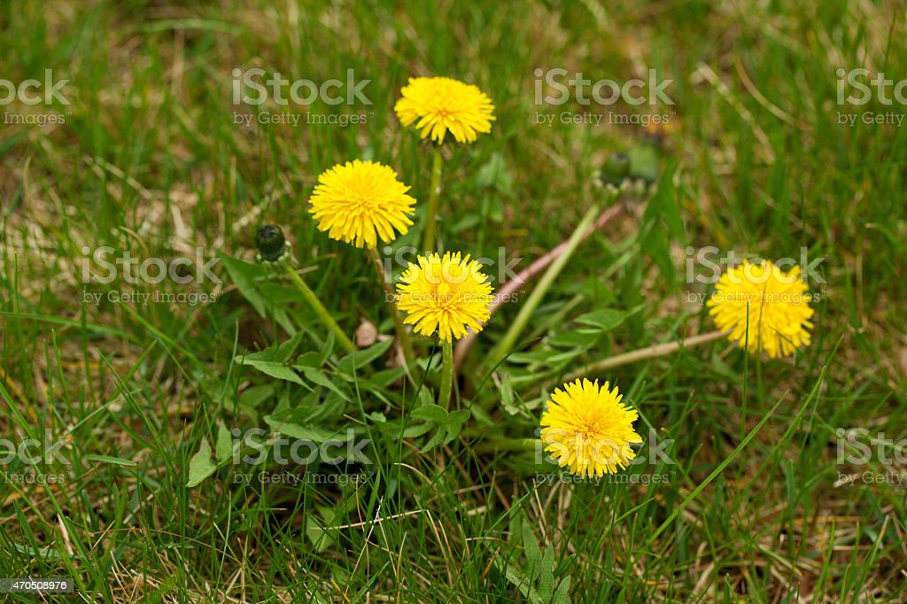 Dandelion Weed Growing in Lawn stock photo
