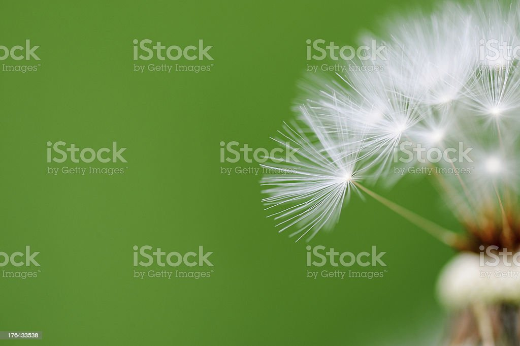 Dandelion with copy space stock photo