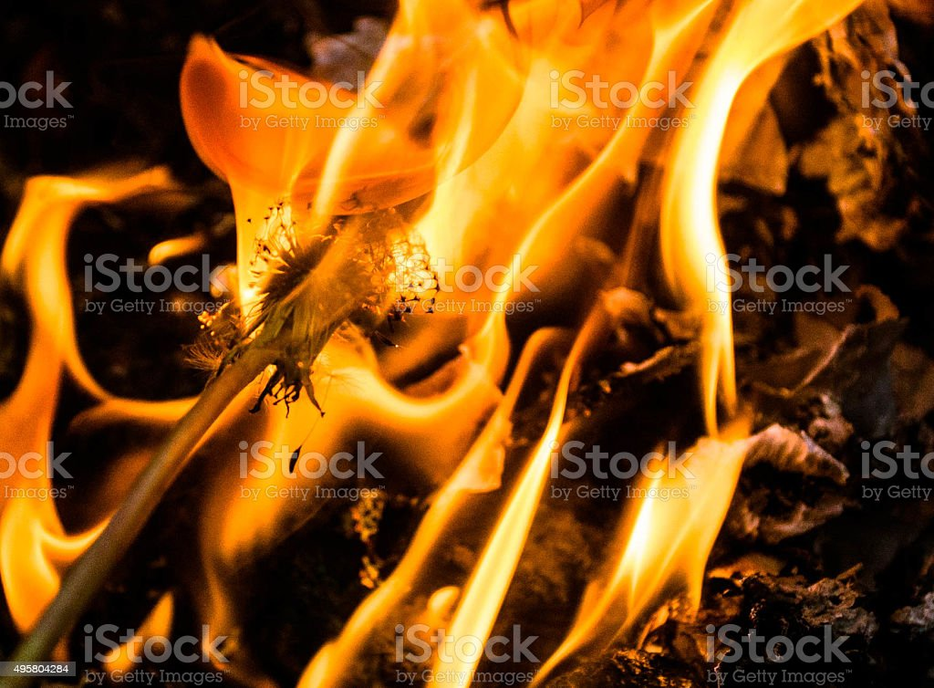 dandelion with fire background stock photo