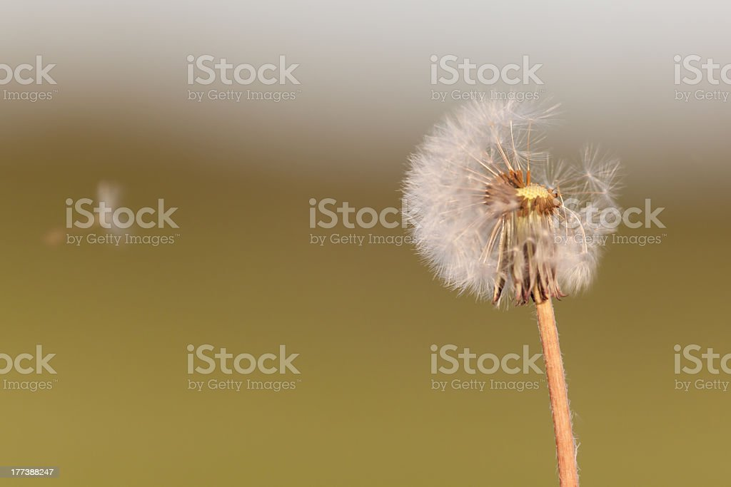 Dandelion with flying seeds royalty-free stock photo