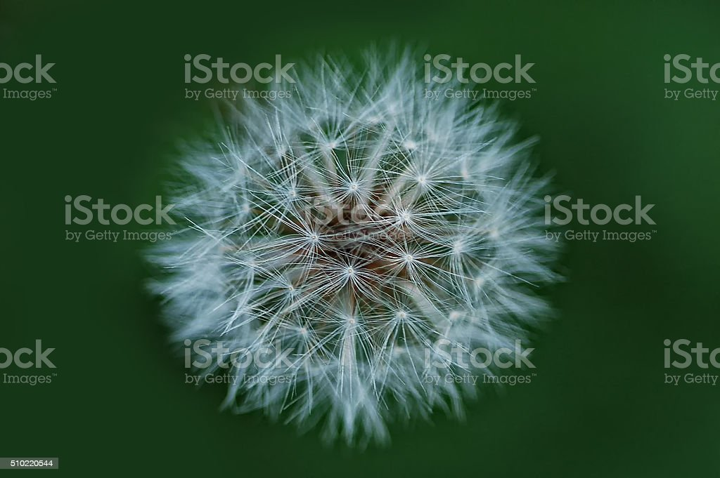 Dandelion with green background stock photo